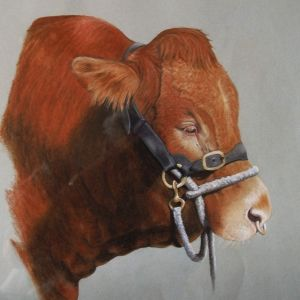 Goldies Trophy Limousin bull